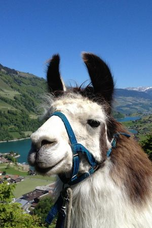 Lama Trekking through Giswil